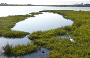 A Great Egret stalks his prey in the pickle weed in the Bolsa Chica Wetlands of Huntington Beach. Photo by: SAM GANGWER, ORANGE COUNTY REGISTER -